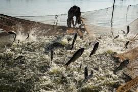 松滋王家大湖起鱼盛景 登上央视