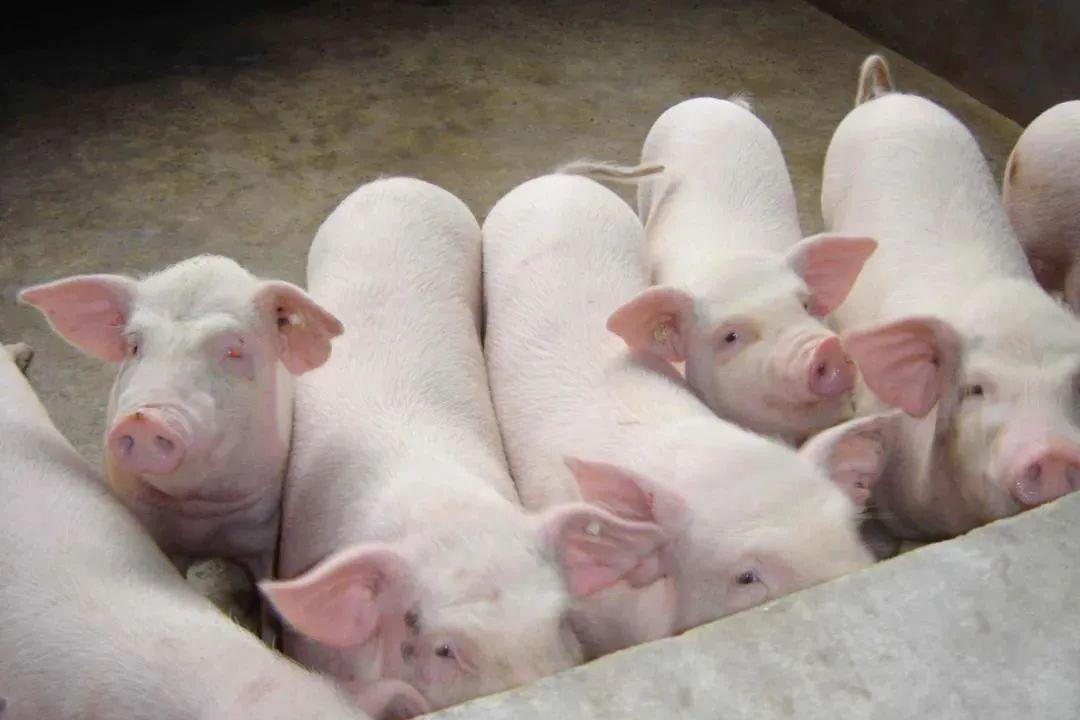 生猪产业发展